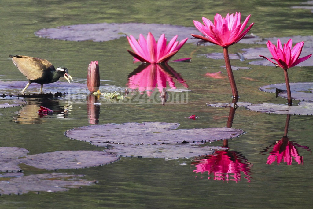 A bronze-winged jacana searching for food along red lilies at the lake in Jahangirnagar University campus.