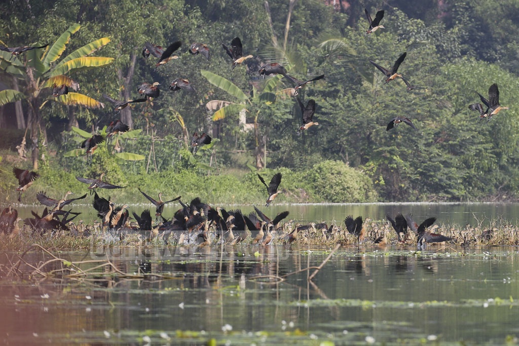A flock of lesser whistling ducks diving to the lake in Jahangirnagar University campus.