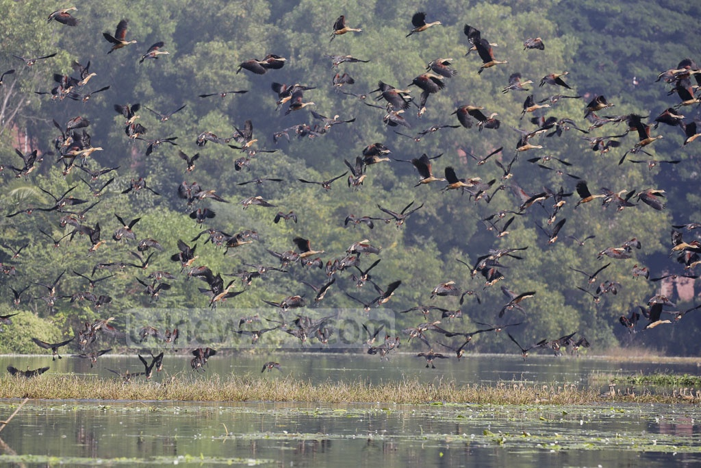 The flock of lesser whistling ducks flying in the sky of Jahangirnagar University.