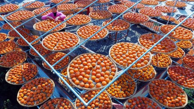Dried persimmons are called Shibing in Chinese and are a popular treat. reuters
