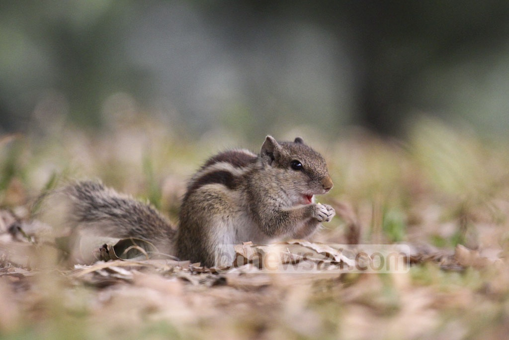 A squirrel nibbles on a nut outside the Ramna Park on Monday. Photo: abdul mannan