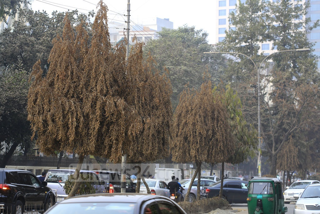 The road divider of Gulshan Avenue is being repaired, but there is no initiative to save the hundreds of trees that grew through the divider.