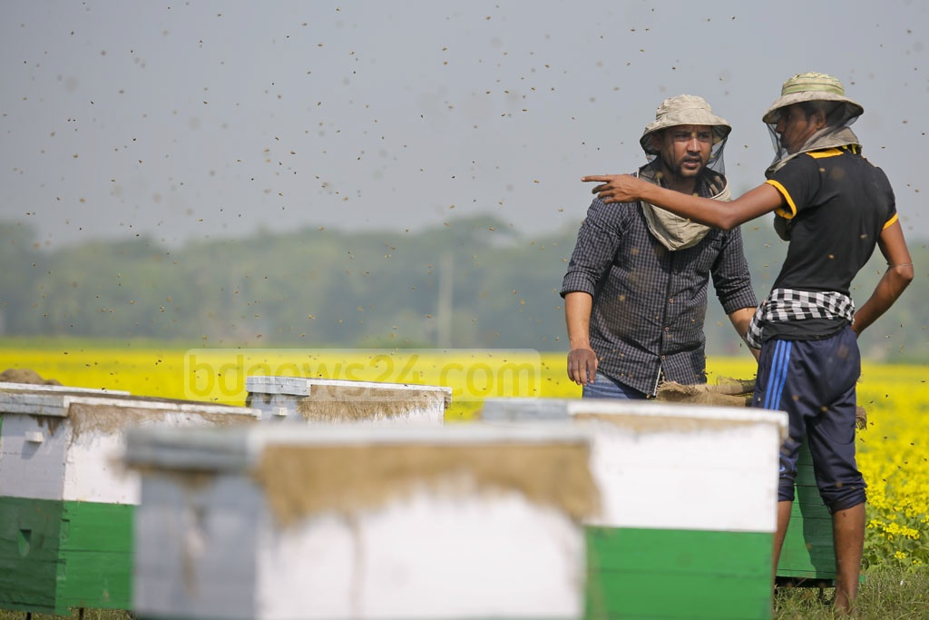Beekeepers work in their yard next to hundreds of acres of mustard fields at Munshiganj's Srinagar on Tuesday. Photo: asaduzzaman pramanik