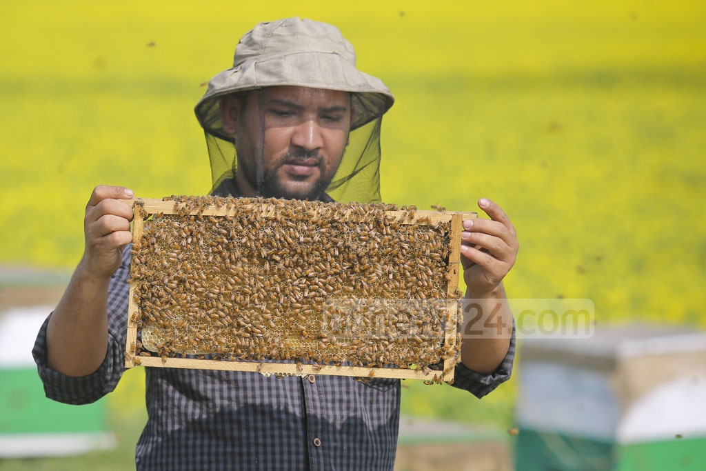 A beekeeper holds up a blind to check the progress of honey being formed within the cells. Photo: asaduzzaman pramanik