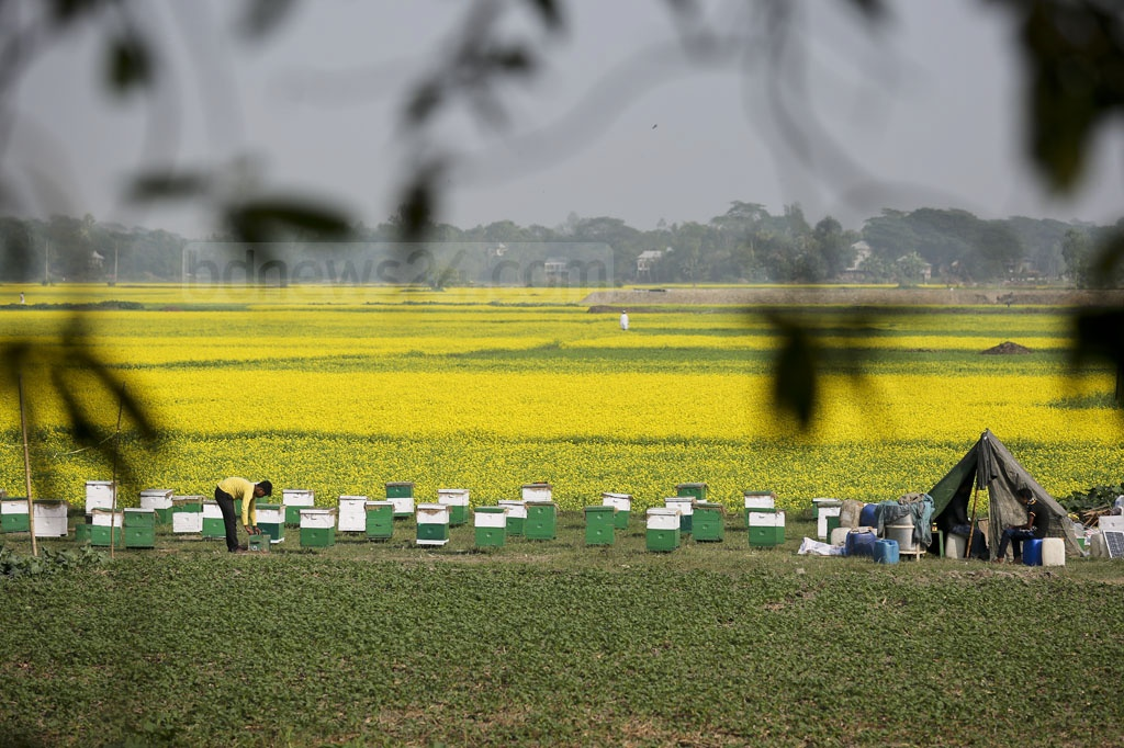 The honey sold as 'Moti Modu' comes from these fields at Munshiganj. Photo: asaduzzaman pramanik