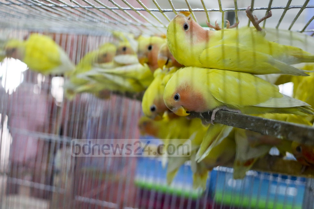 Lovebirds huddle together for warmth at the two-day bird show that began at the National Press Club on Thursday. Photo: asaduzzaman pramanik