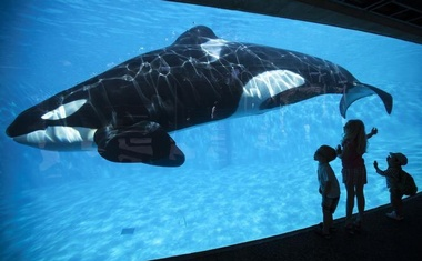 Young children get a close-up view of an Orca killer whale during a visit to the animal theme park SeaWorld in San Diego, California March 19, 2014. Reuters