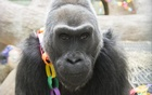 Oldest gorilla in captivity dies in Ohio at 60 years old