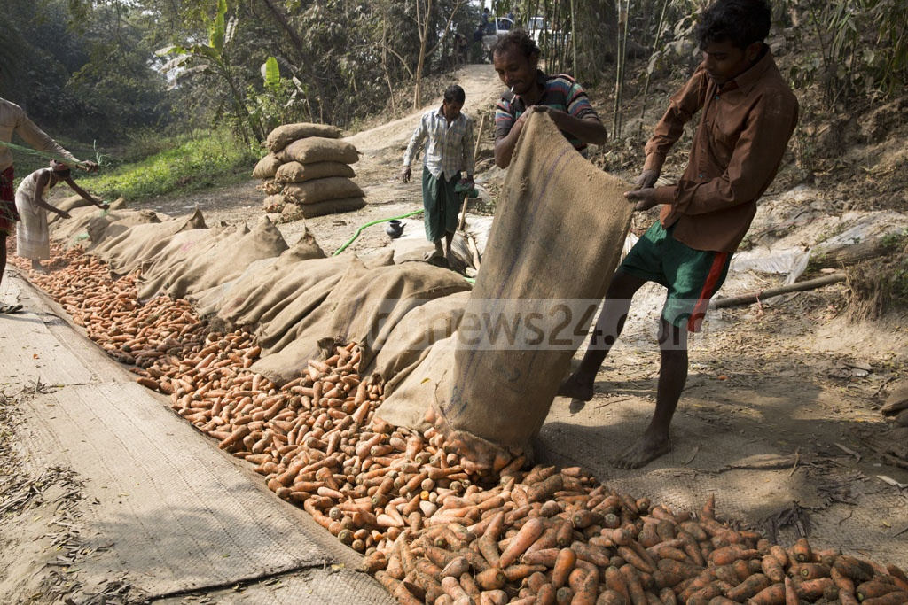Carrots picked freshly from the fields are unloaded from sacks at Singair's Jaimandap. Photo: mostafigur rahman
