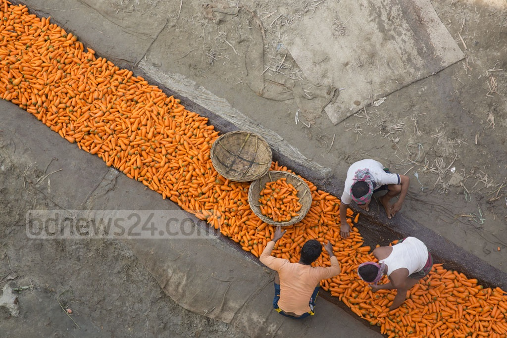 A worker is paid Tk 80 for every sack of carrots they pick, cleaned and load on to trucks. Photo: mostafigur rahman