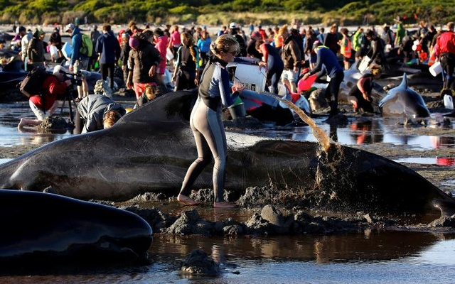 Volunteers attend to some of the hundreds of stranded pilot whales still alive after one of the country's largest recorded mass whale strandings, in Golden Bay, at the top of New Zealand's South Island, Feb 10, 2017. Reuters