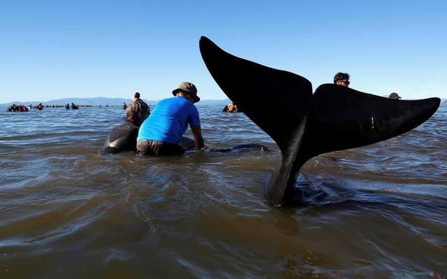 Volunteers try to guide some of the stranded pilot whales still alive back out to sea after one of the country's largest recorded mass whale strandings, in Golden Bay, at the top of New Zealand's South Island, Feb 11, 2017. Reuters