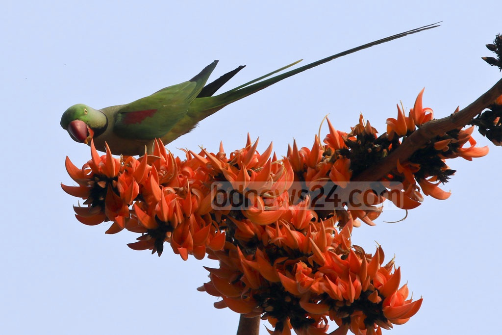 The photo taken at Curzon Hall of Dhaka University shows an Alexandrine Parakeet sitting on a branch of 'Polash' flowers, one of the gorgeous flowers that ring the bell for spring. Photo: mostafigur rahman