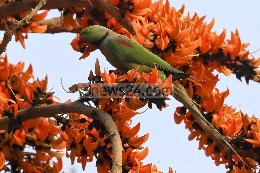 An Alexandrine Parakeet sitting on neon orange Polash flower heralding the advent of spring. The photo was taken from Dhaka University's Curzon Hall area. Photo: mostafigur rahman