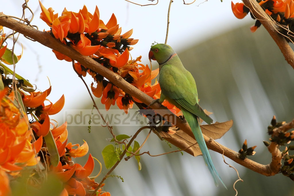 A Rose-ringed Parakeet sitting on neon orange Polash flower heralding the advent of spring. The photo was taken from Dhaka University's Curzon Hall area. Photo: mostafigur rahman