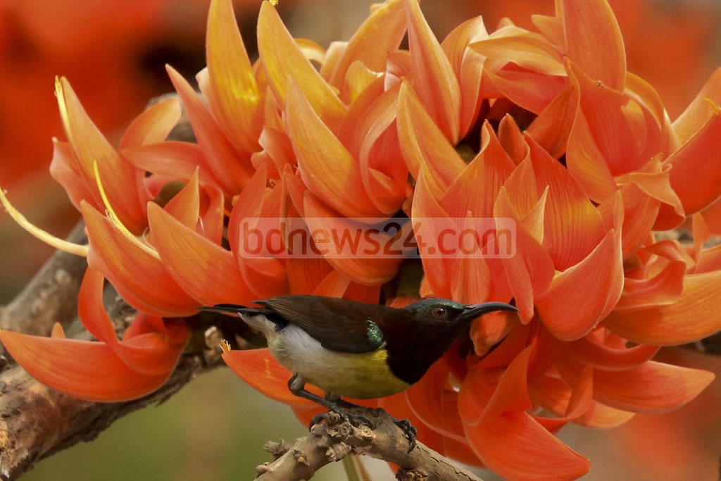 A tiny Purple Sunbird (known as Niltuni in Bangla) sitting on a bunch of Polash flower, a scene very common during the spring seaon. The photo was taken at the Central Shaheed Minar. Photo: mostafigur rahman