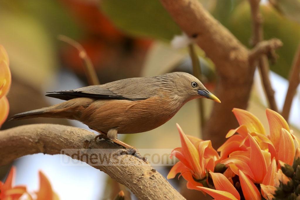 A Chestnut-tailed Starling (Kathh Shalik) spotted amid a bush of Polash flowers, a day before the first day of Phalgun (Spring) on Monday at Dhaka's Central Shaheed Minar. Photo: mostafigur rahman