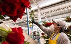Representational Image: Undated Reuters File Photo shows a worker measuring a rose at a plantation in Tabacundo, Ecuador.