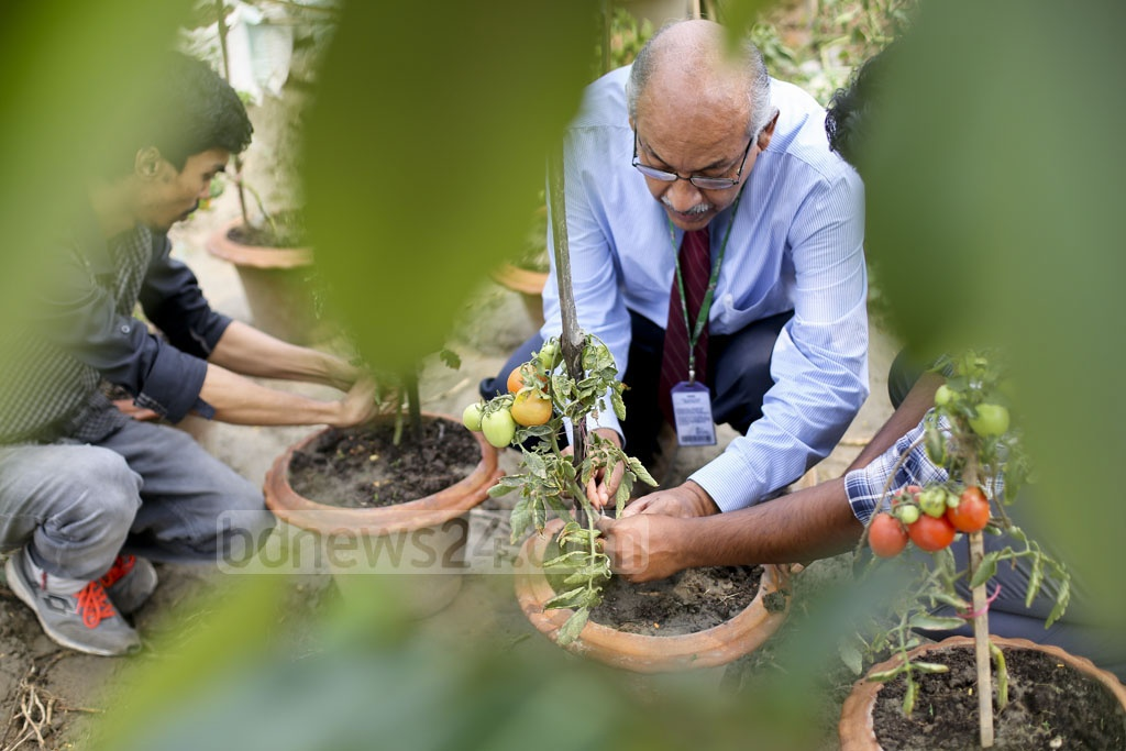 Agricultural Researcher and Bangladesh Agricultural University Germ Plasm Centre Founder Prof Dr AM Farooque inspects his 'Tomaloo' plants. Photo: asaduzzaman pramanik