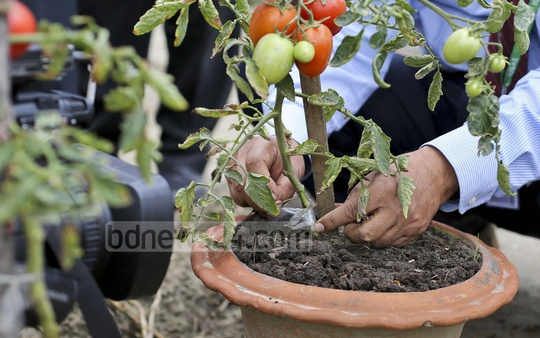 The section of the plant wrapped in polythene is the potato root stalk, which has been attached to a tomato vine. The hybridisation was successful because both tomatoes and potatoes come from the same family of plants. Photo: asaduzzaman pramanik