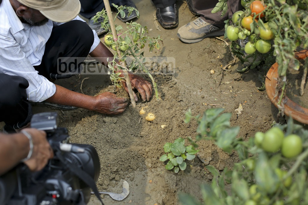 Soil is washed away to show the potatoes growing under the 'Tomaloo' plant. Photo: asaduzzaman pramanik