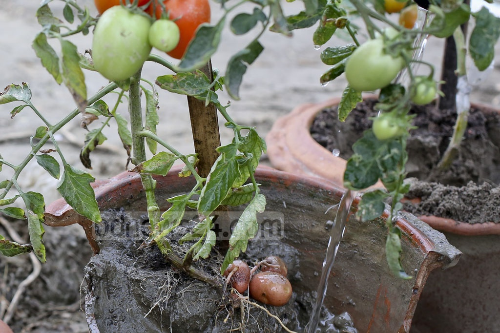 The 'Tomaloo' plant can be grown in potted plants and can be grown for personal use on a roof garden. However, potato yields may be small without adequate soil minerals and moisture. Photo: asaduzzaman pramanik