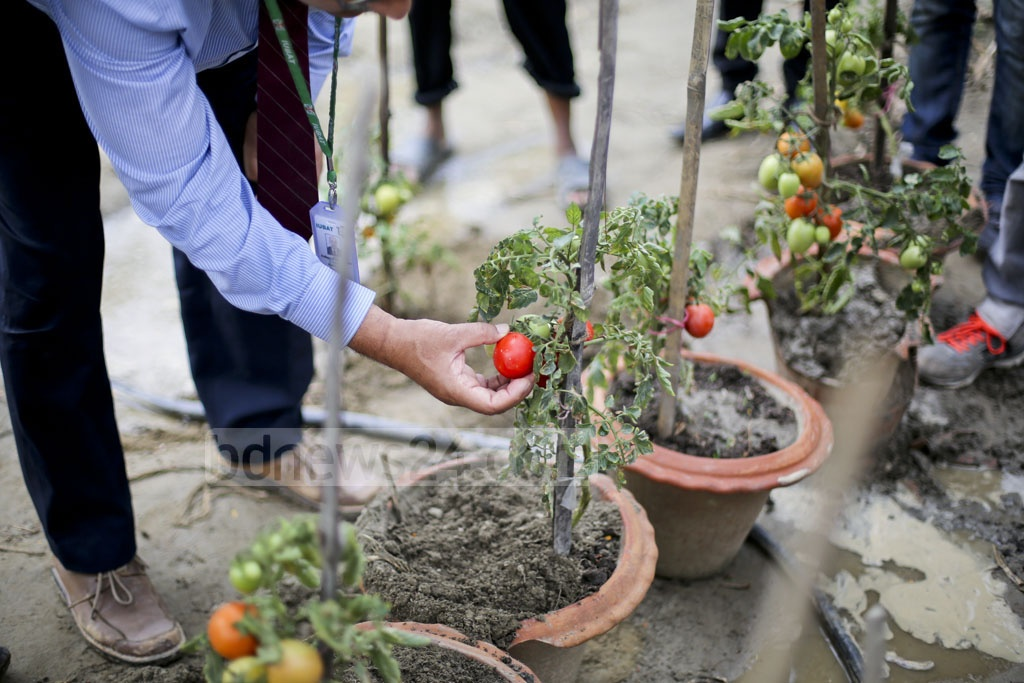 Though the vines of the plant are laden with tomatoes, the roots buried in the pot are also growing potatoes. The hybrid created by agricultural scientists has been nicknamed the 'Tomaloo'. Photo: asaduzzaman pramanik