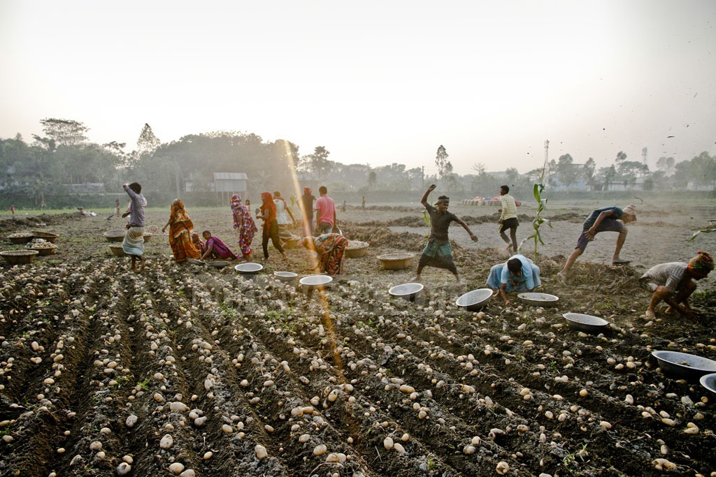 Picking potatoes can be quite mundane. Labourers here are making it interesting by taunting each other. Photo: tanvir ahammed