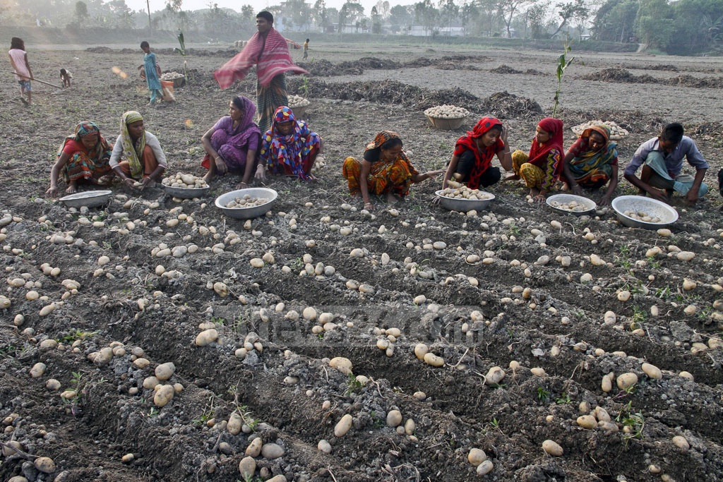 Potatoes, picked and left in the fields, are being collected by these women. They get paid Tk 300 for an entire day of work as opposed to a male worker who can receive up to Tk 500. Photo: tanvir ahammed