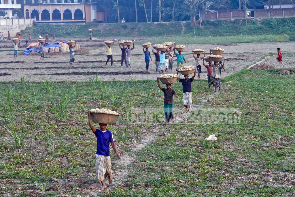 Workers carry baskets of potatoes to the owner's house. Photo: tanvir ahammed