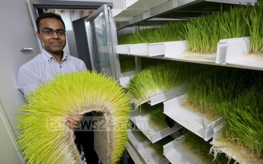 The fodder produced through hydroponic system can be stored for up to 10 days. Photo: asaduzzaman pramanik