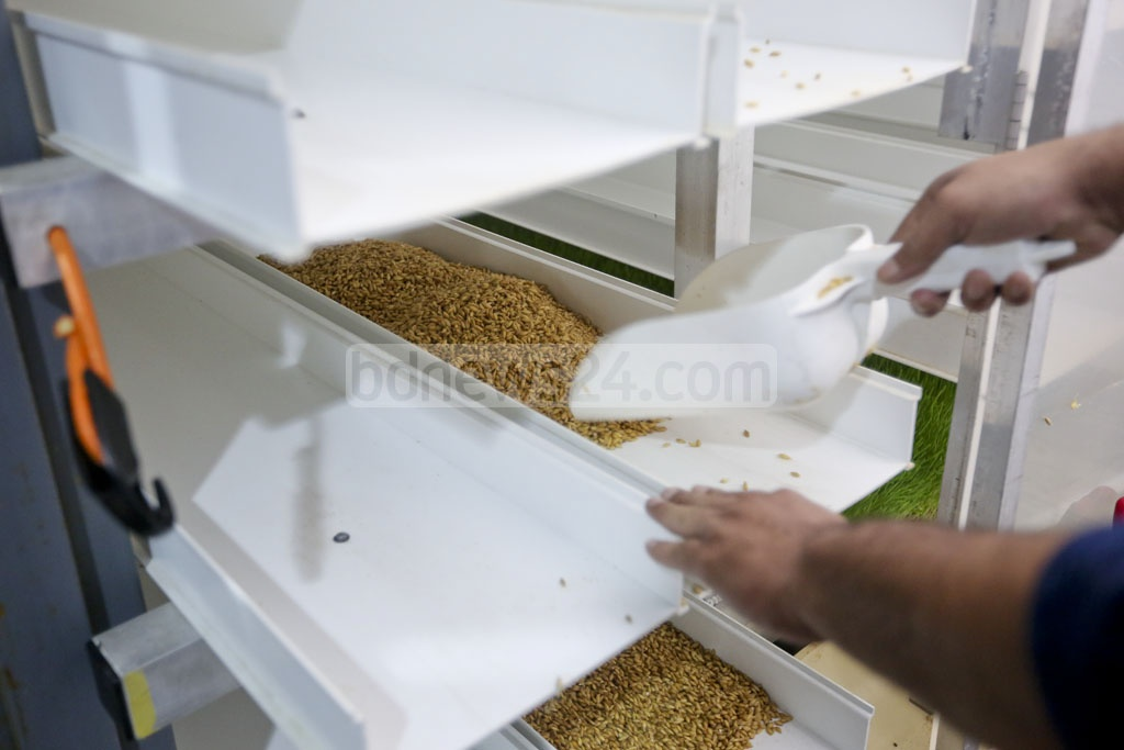 Wheat seeds are laid on the container bed. Around seven kilograms grass will be produced from a kg of seeds. Photo: asaduzzaman pramanik