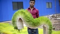 Seven feet long grass carpets like the one showed in the photo need two kg wheat seeds to grow eight-inch grasses in a week. Photo: asaduzzaman pramanik