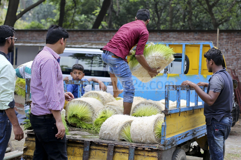 Hydroponically grown fodder are being loaded on a vehicle for distribution. Photo: asaduzzaman pramanik