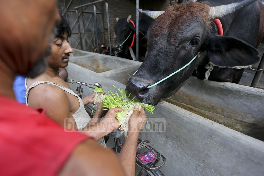 According to the cattle farmers, a milch cow needs food of around Tk 300 daily while the cost drops below Tk 200 if it is fed with hydroponic fodder. Photo: asaduzzaman pramanik