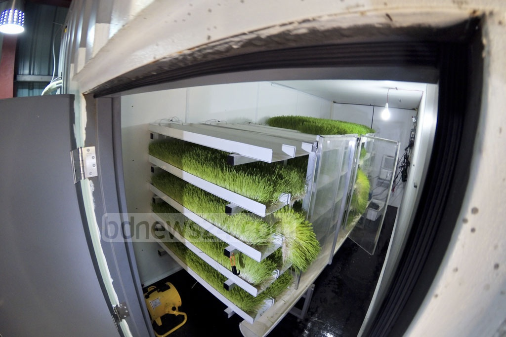 Five to six levels of beds can be set up in a container by controlling temperature and humidity, which allows growing more grass using less space. Photo: asaduzzaman pramanik
