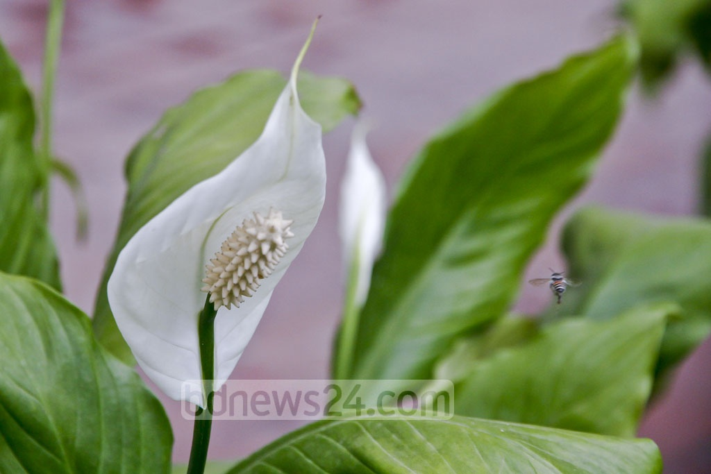 A photo of a Peace Lily or Cobra flower in Dhaka. Photo: tanvir ahammed