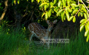 A spotted deer at Kalagachhia in the Sundarbans.