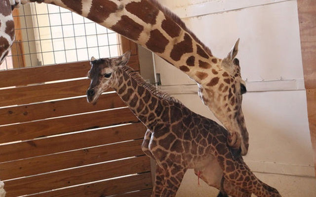 April helps her newly born unnamed baby giraffe stand at the Animal Adventure Park, in Harpursville, New York, US, April 15, 2017. Animal Adventure Park/Handout via Reuters