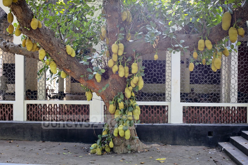 In bloom: A jack-fruit tree inside the Dhaka University is seen adorned with the national fruit on Monday. Photo: asaduzzaman pramanik