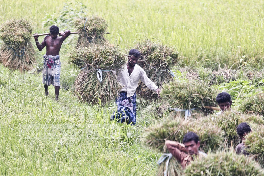 Workers loaded with rice paddies head home. Photo taken in the Amulia area of Demra. Photo: asif mahmud ove