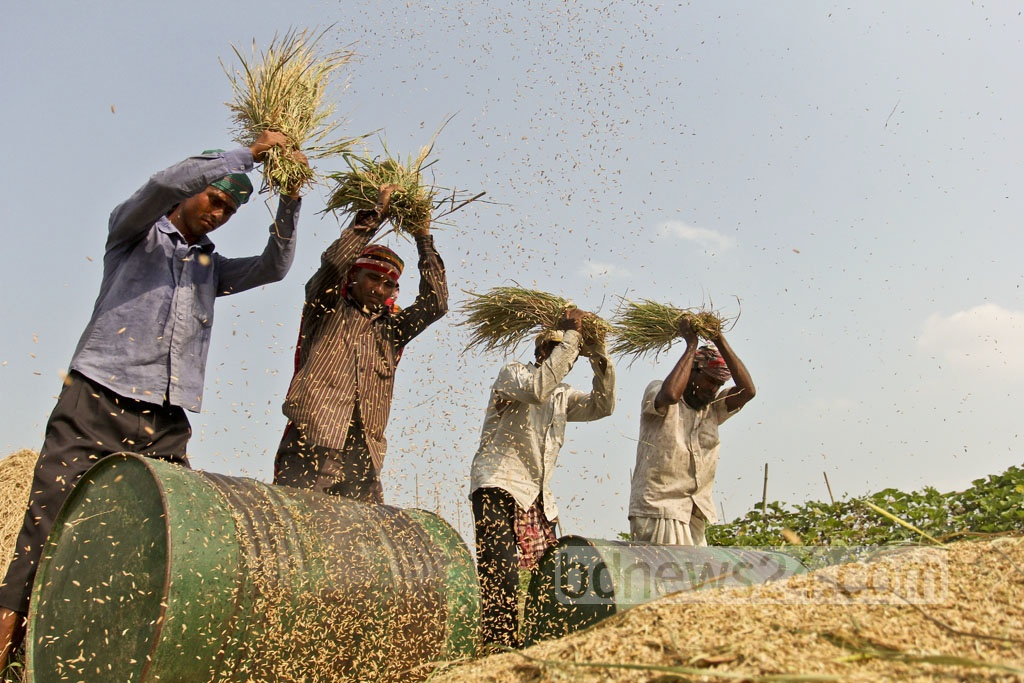 Workers thresh rice grains at Manikda village in Amulia. Photo: asif mahmud ove