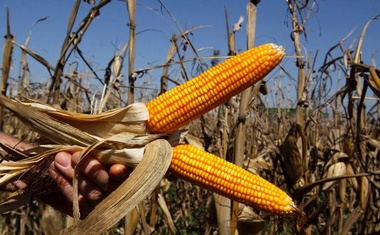 FILE PHOTO -- Cobs of corn are held at a corn field in in La Paloma city, Canindeyu, about 348km (216 miles) northeast of Asuncion August 7, 2012. Corn export is second only to soybean export in Paraguay. Reuters