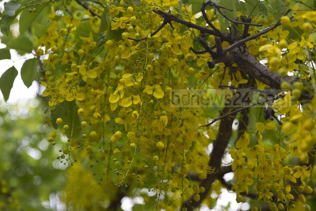 Summer flower 'Golden Shower' adorn footwalks around Jatiyo Sangsad building . Photo: mostafigur rahman