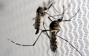 Aedes aegypti mosquitoes are seen inside Oxitec laboratory in Campinas, Brazil, February 2, 2016. Reuters
