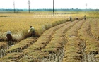 Boro rice: Tk 2 more for farmers, Tk 4 for millers