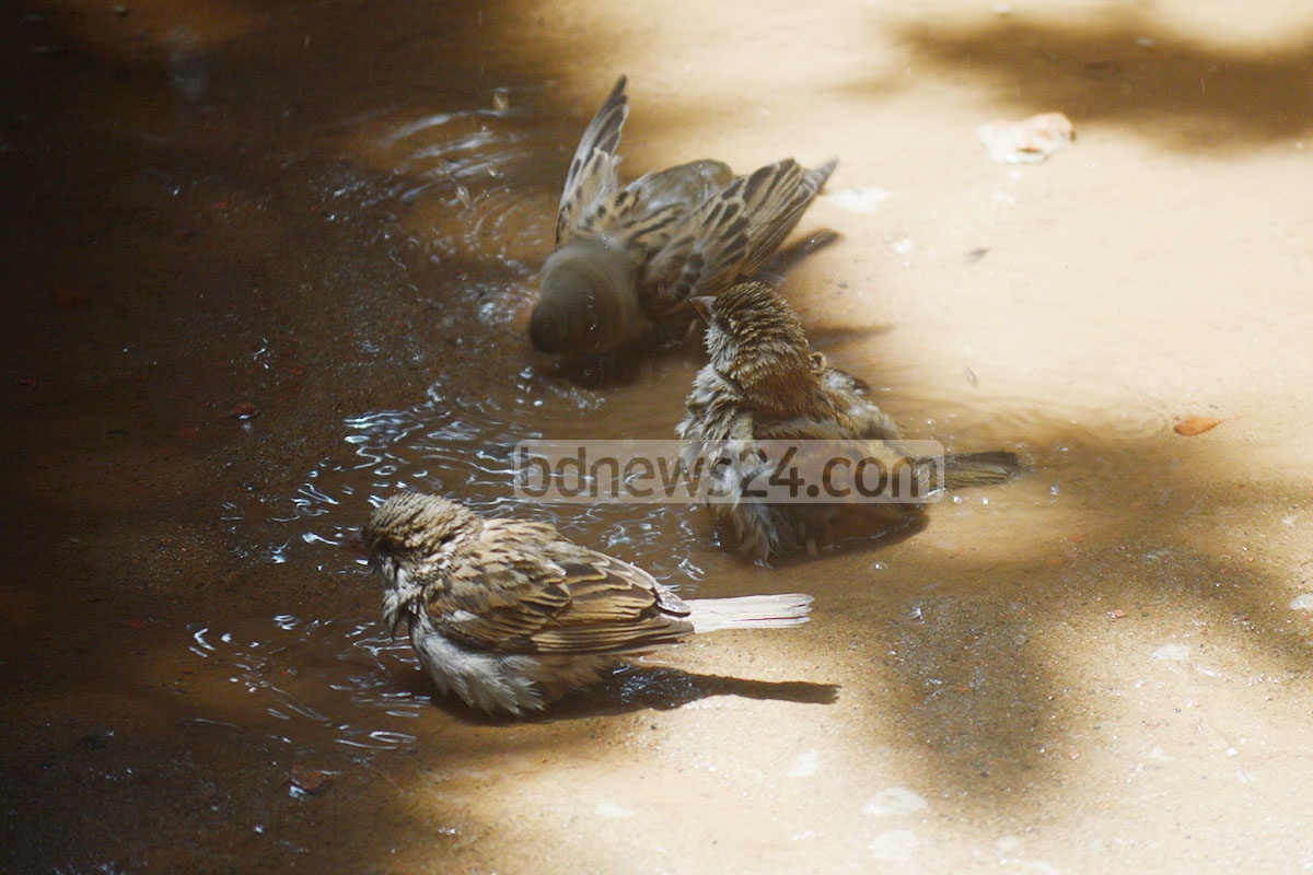 Three sparrows are cooling down in a puddle amid hot, humid weather on Wednesday. The photo was taken at Chittagong's Enayet Bazar neighbourhood. Photo: suman babu