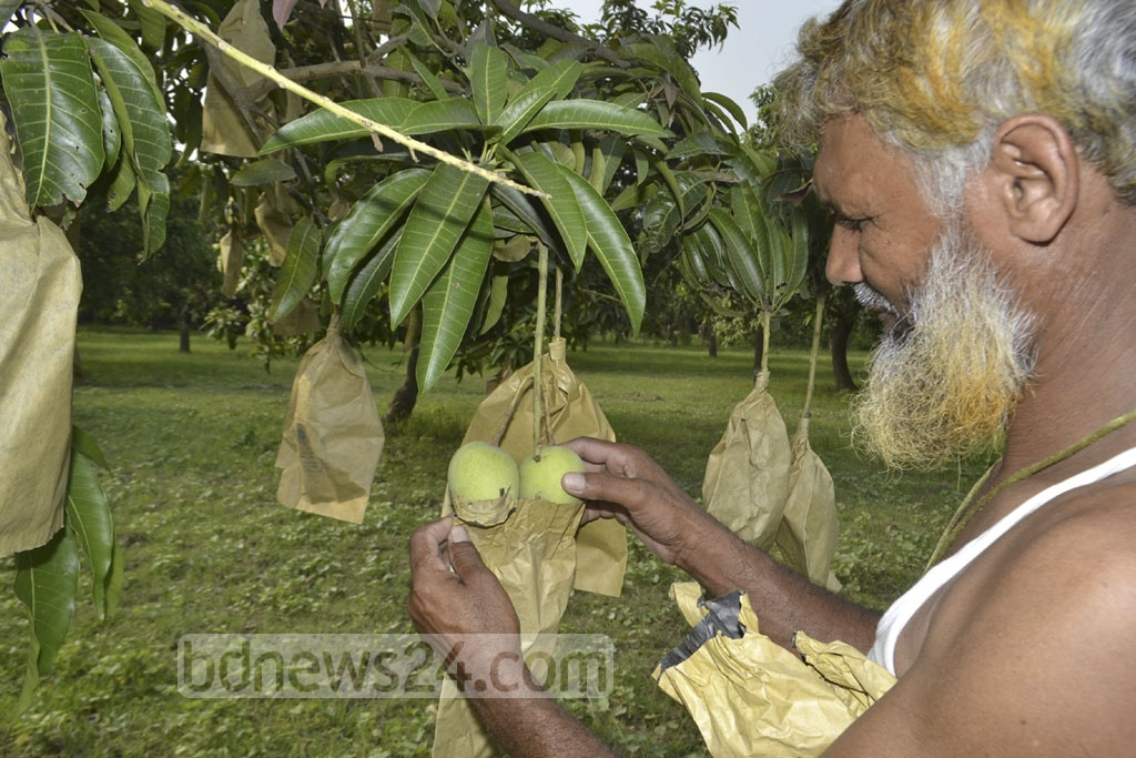 The bagging method is being used to grow mangoes in a farm in Rajshahi.