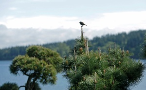 A bird is pictured on a tree outside the Kiana Lodge, one of the locations for the 'Twin Peaks' television series, in Poulsbo, Washington, U.S. April 27, 2017. Picture taken April 27, 2017. Reuters