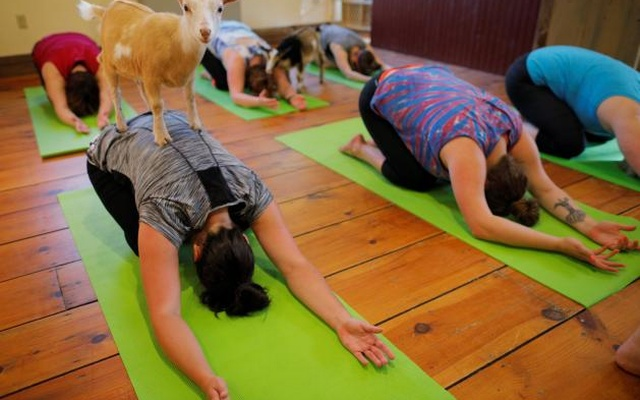 A goat climbs on Kylie Kennedy during a yoga class with eight students and five goats at Jenness Farm in Nottingham, New Hampshire, U.S., May 18, 2017. Picture taken May 18, 2017. Reuters